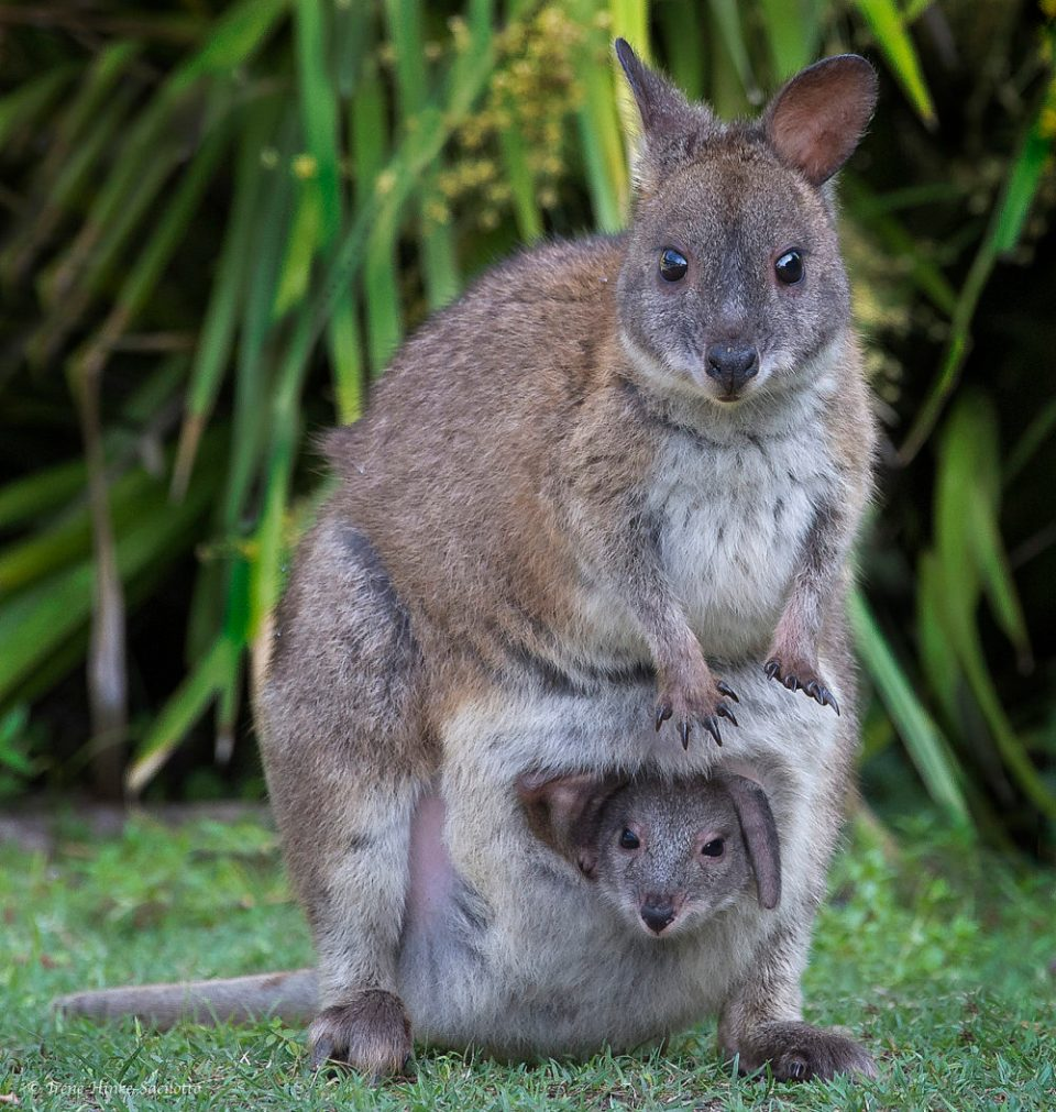 This wallaby mom and her joey hung out near my room at O'Reily's Guest House in Australia. I looked for the pair each day when I walked passed the area. One day, both were in the open and they allowed me to capture these and other images.