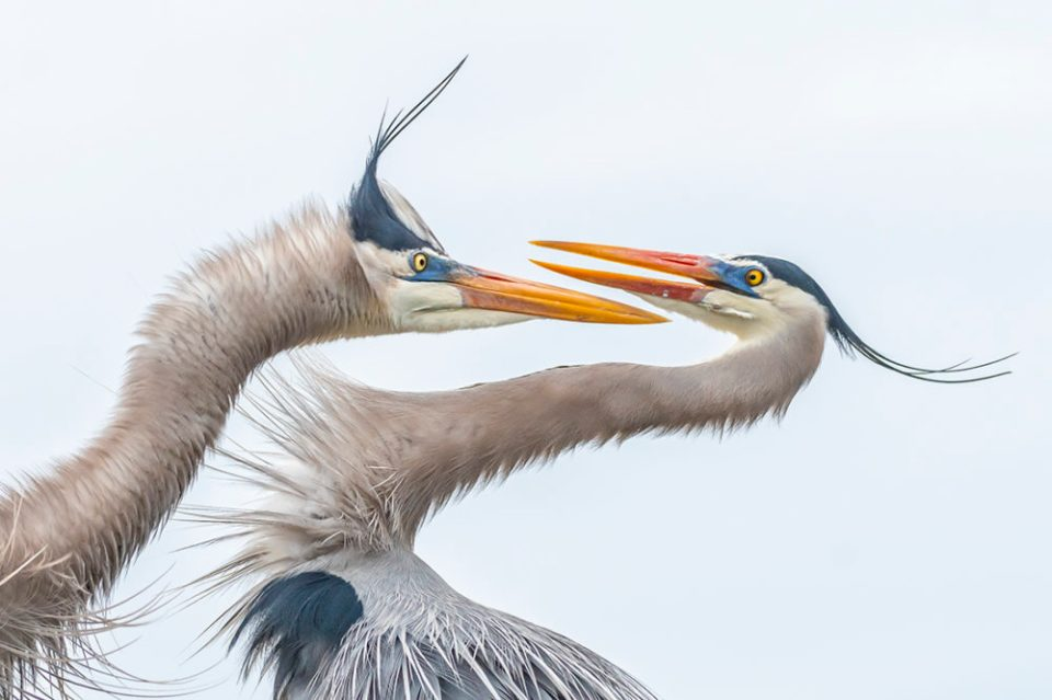 "2020 Showcase, First Runner-up: Birds. ""Dance of the Great Blue Herons, Delray Beach, Florida"" © Melissa Rowell."