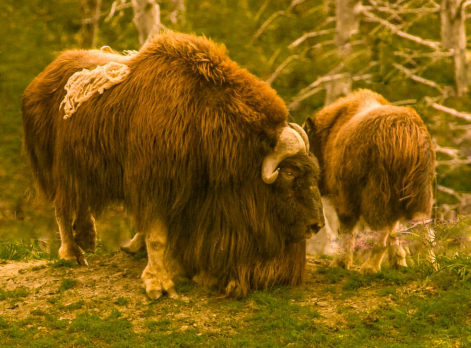 Musk oxen in the Alaska Wildlife Sanctuary, Chugach National Fores..