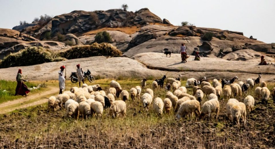 Rabari herdsmen near the Varawal Camp are compensated for livestock loss due to leopards.