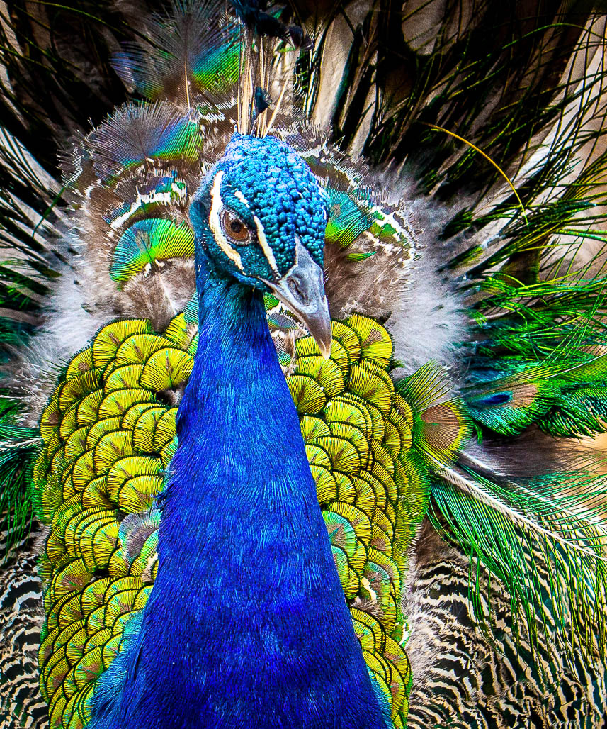 Wild Peafowl are seen everywhere in rural Rajasthan as well as in cities.