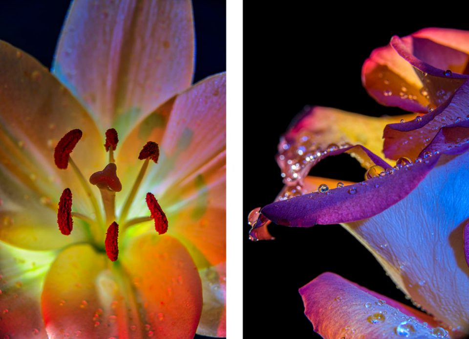 Lily lit from multiple angles (on left) and Rose lit to highlight water droplets (on right)