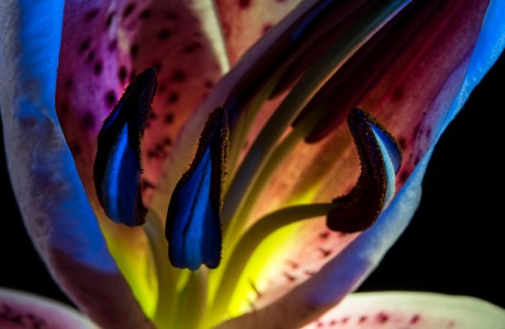 Stargazer lily with blue sidelight