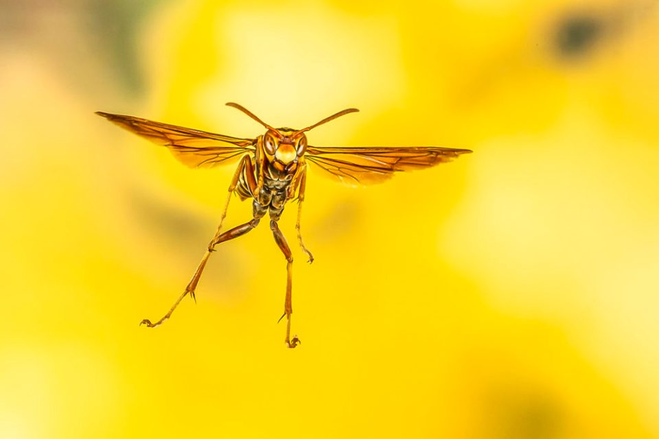 "Showcase 2020 Top 100 winner: ""Polistes Dorsalis Wasp"" © Lee Hoy Photography"