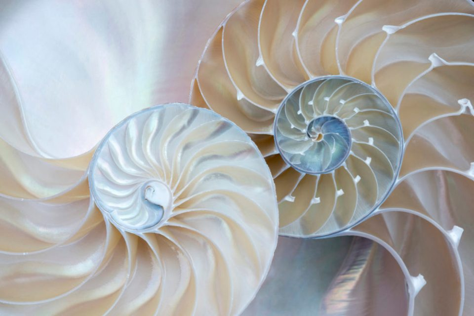 "Showcase 2020 Top 100 winner: ""Parts of a Whole: Two Nautilus Halves, Still Life at Home"" © Janet MacCausland."
