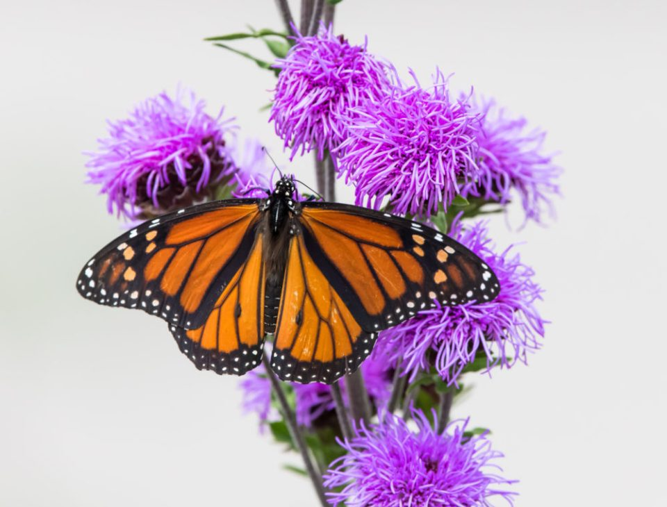 Monarch on northern blazing star.