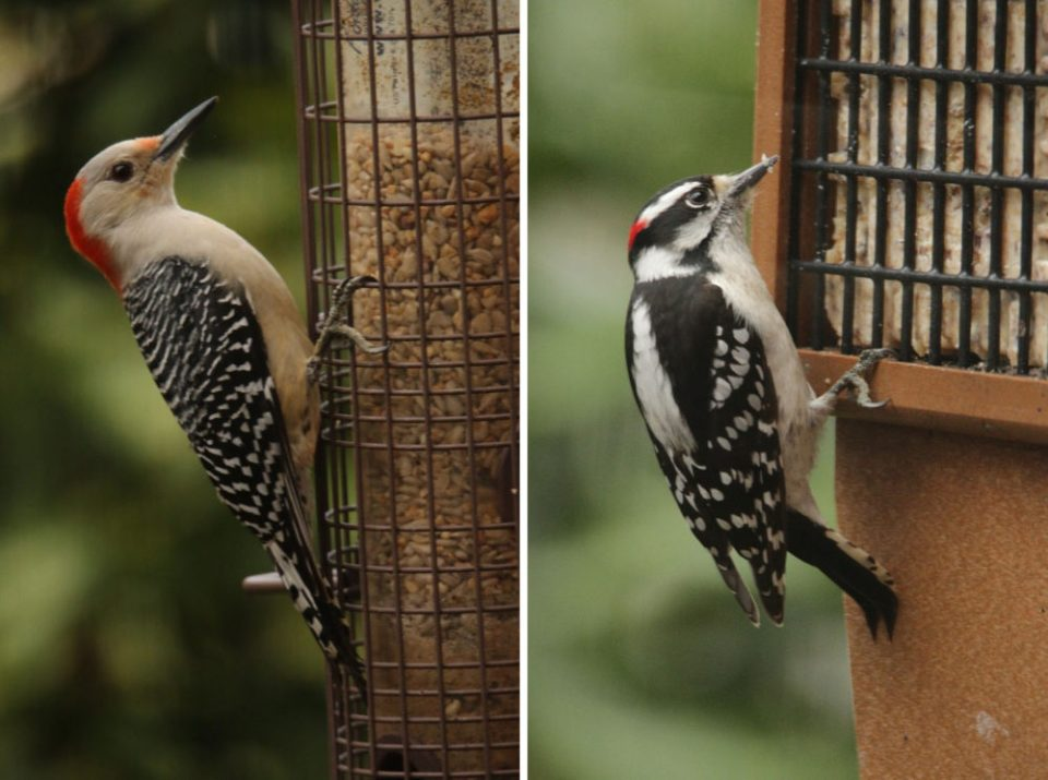 Photos of a Red-breasted Woodpecker (left) and Downy Woodpecker (right).