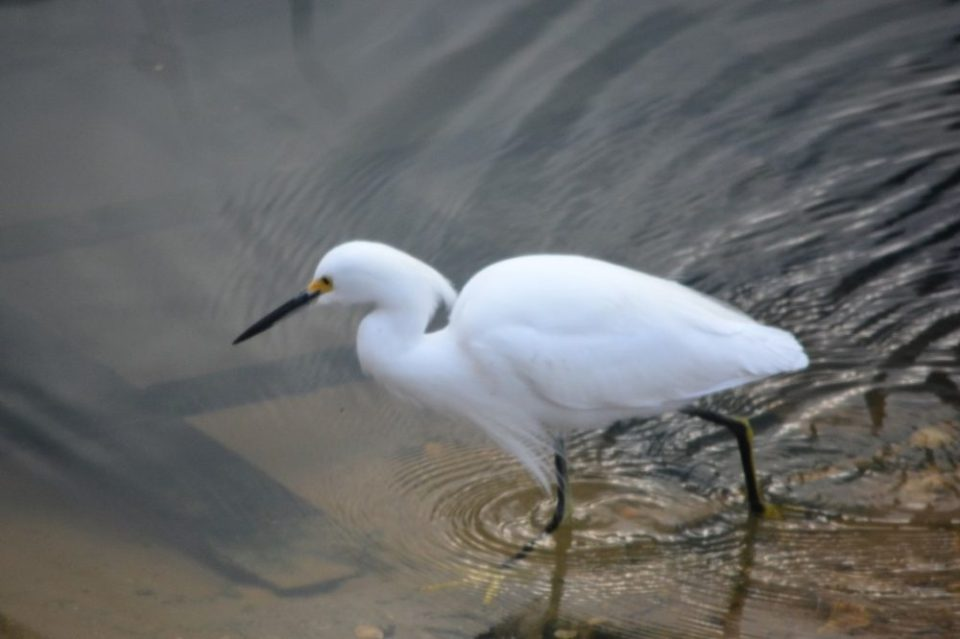 Snowy Egret walking through shallow water. 1/160 sec. f/5.6 300mm ISO 800
