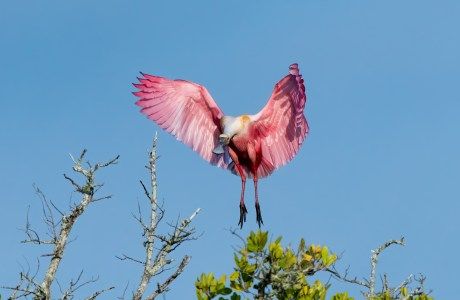 A Roseate Spoonbill landing on a tree.