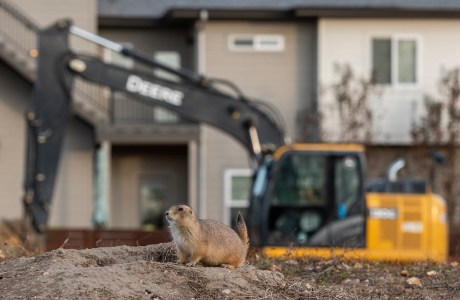 """Photo of prairie dog in front of construction. Showcase 2020 Judges' Choice, Conservation: """"New Neighbors in Town"""" © Emma Balunek."""