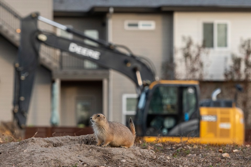 "Photo of prairie dog in front of construction. Showcase 2020 Judges' Choice, Conservation: ""New Neighbors in Town"" © Emma Balunek."