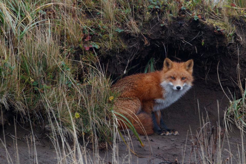 Photo of a red fox at the edge of some brush. Most animals like the Red Fox quickly accustom to photography blinds and behave naturally.