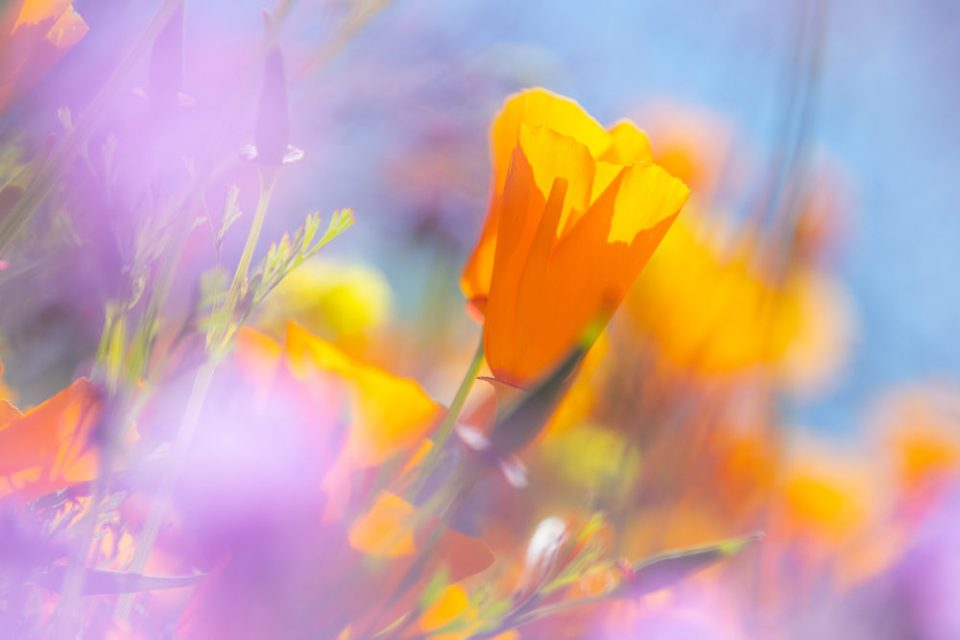 California poppies photographed last year using the Tamron 18-400mm at 400mm while shooting through other wildflowers.