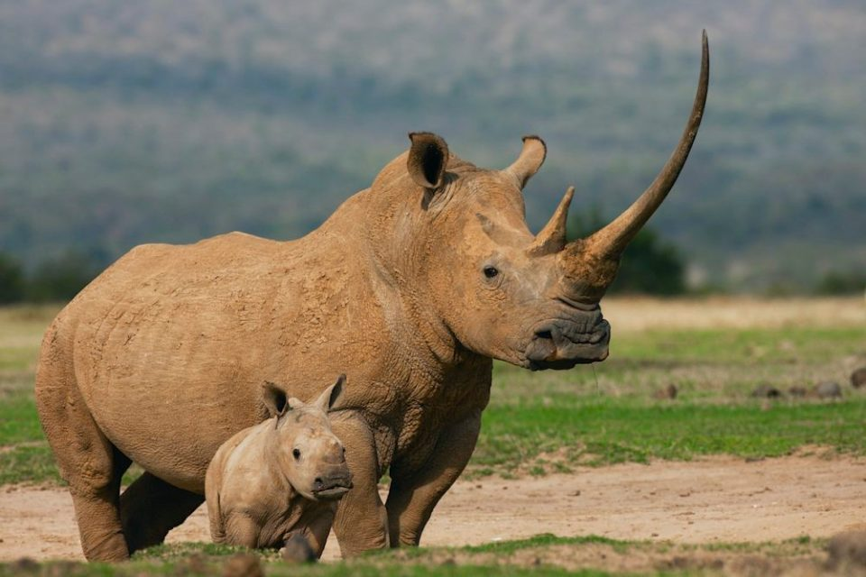 A white rhinoceros female (Ceratotherium simum) with an enormous horn stands protectively next to her small calf, The Aberdares, Kenya,Africa