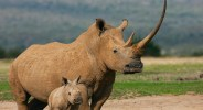 A white rhinoceros female (Ceratotherium simum) with an enormous horn stands protectively next to her small calf,, The Aberdares, Kenya,Africa