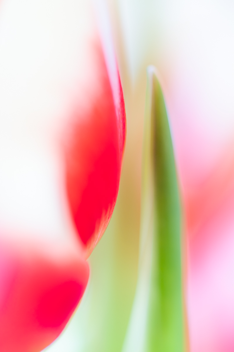 Same tulip photographed from a different angle using defocusing technique.