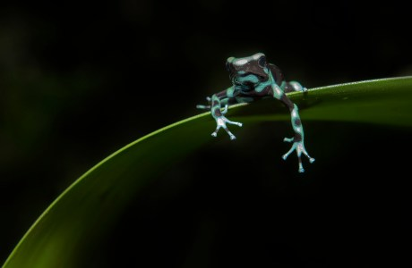 "Showcase 2020 Top 100 winner: ""Green and Black Poison Dart Frog"" © Hector Astorga"