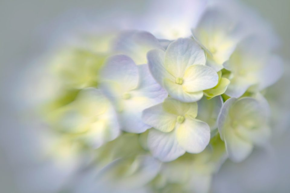 Close up photo of a hydrangea shot with Sweet 50 optic.