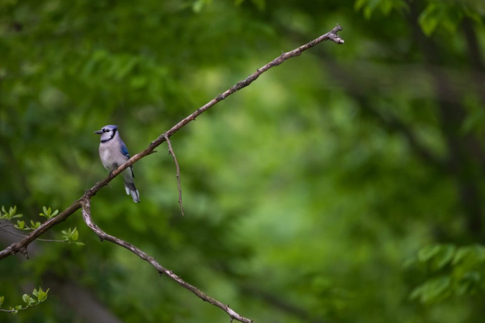 Photo of a blue jay on a branch.