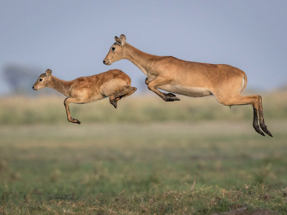 "Showcase 2020 Top 100 winner: ""Leaping Lechwes"" © Carol Grenier."