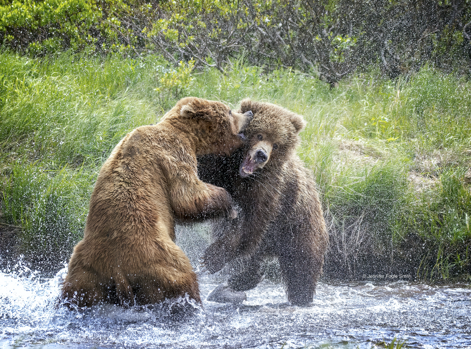 Two brown bears fighting in water, image by Jennifer Fogle Smith