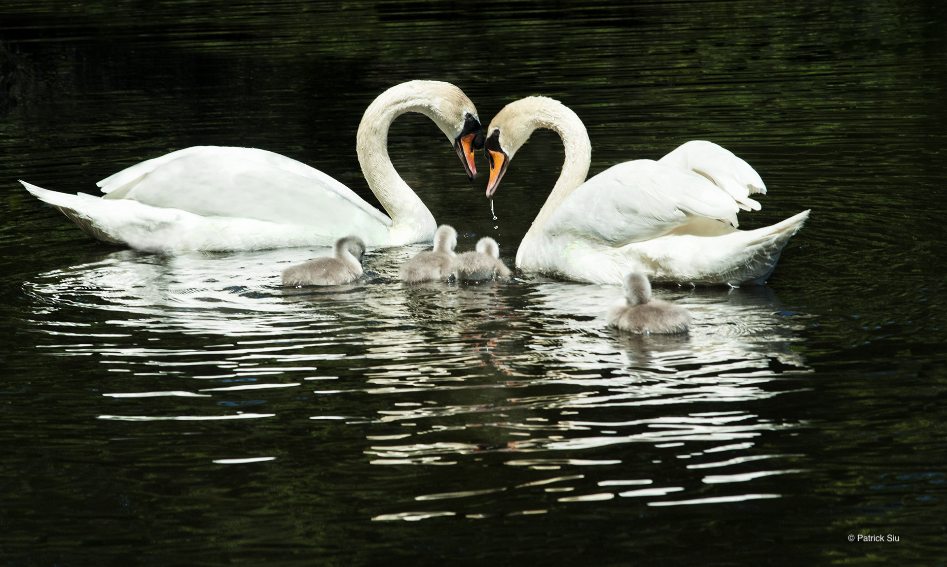 "Photo of adult and baby swans. Second Place Photo ""Swan Family Dinner Time"" © Patrick Siu."
