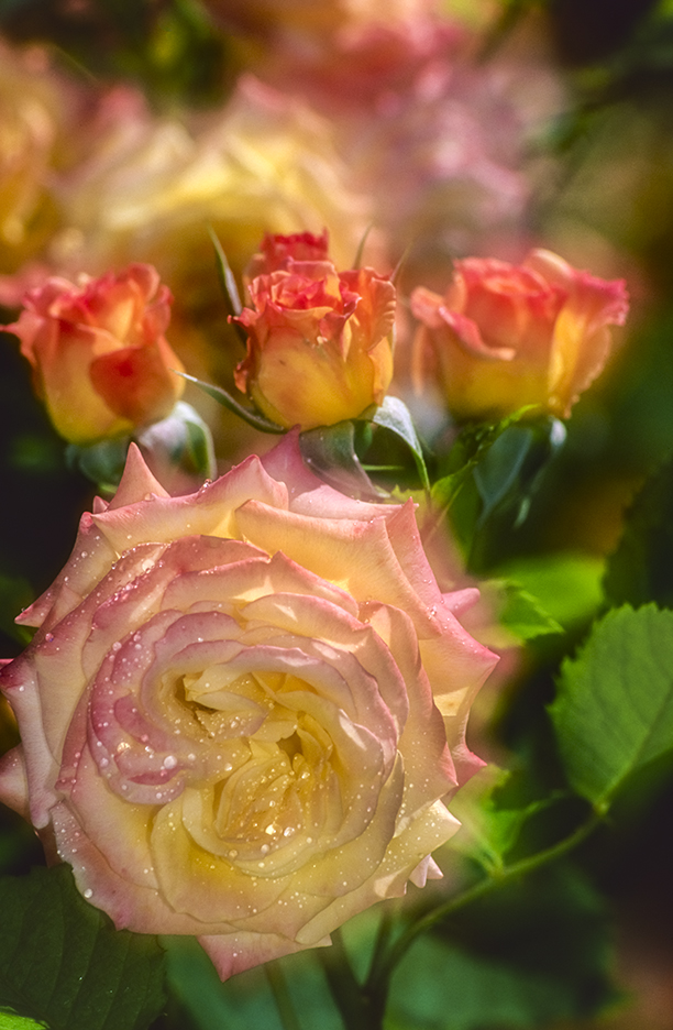 Photo of roses using in-camera double exposure blur