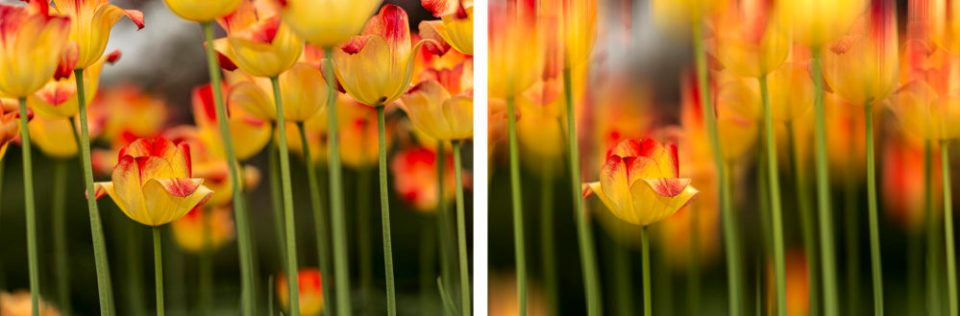 Unaltered photo of triumph tulips at left and motion blur filter applied on the right.
