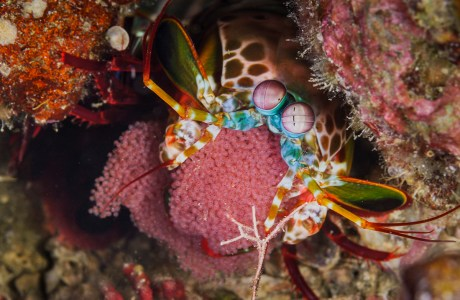 "Showcase 2020 Judges' Choice, Macro/Micro/All Other: ""Smashing Mantis Shrimp Holding Eggs"" © Sharon Wada"
