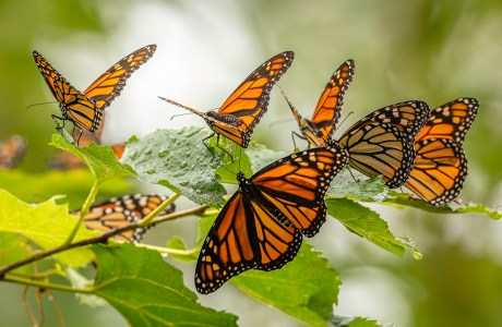 "Showcase 2020 Top 100 Winner: ""Monarchs by the Hundreds, no Thousands!, Wendy Park, Cleveland, Ohio"" © Kathryn Cubert"