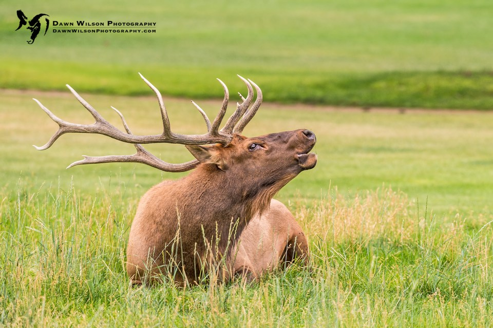 "Photo of resting elk, bugling. Throughout September and October, the elk will be in their mating season. This larger bull is one that can be found in the ""city"" herd in downtown Estes Park. His return in late August was a welcome sign of fall."