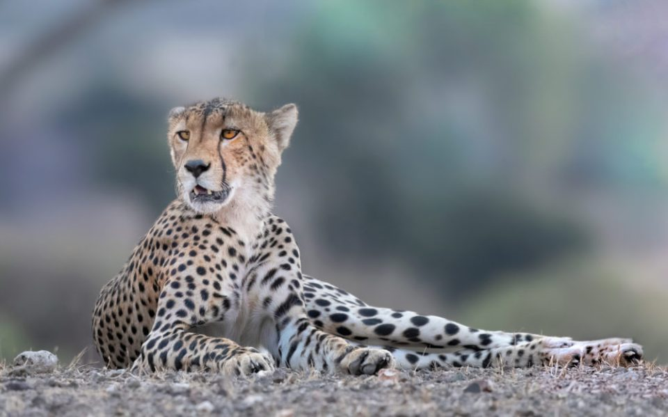 """Cheetah lying on the grass. The background becomes """"blobs"""" of cool color to complement our warm subject. One thing to notice in many images, the point of view was at the subjects level. This helps get a pleasing background too. Nikon D500, 500mm f/5.6E Pf, 1/500 @ f/7.1, ISO 1600 © Donna Brok"""