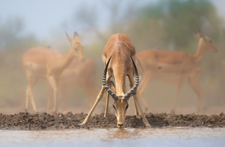Photo of an impala drinking. Impala Drinking. This image has a feeling of tranquility. The lighting and soft focus background of the impalas reinforce the feeling of a peaceful scene. The subject pops and helps create story. © Donna Brok