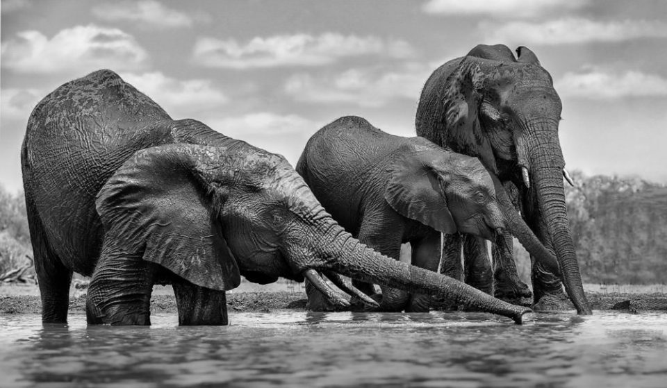 Photo of elephants at a waterhole. Elephants Drinking. When do you choose to go Black and White? Many times it is when the subject has texture and interesting form. This image shows how contrast moves the eye through the image. It creates balance, through a light and dark rhythm, which gives movement and impact. For instance, this is a dark subject on a lighter background. Many tonal values alternate, keep the eye moving through the space. © Donna Brok