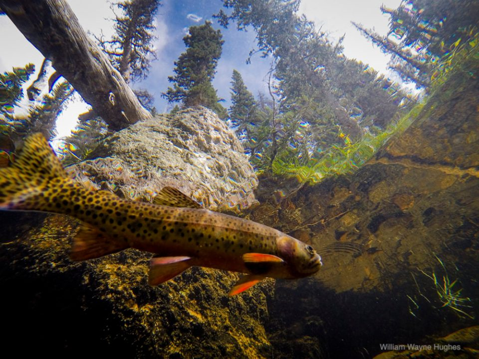A Fish's Perspective from the Point of View of a Threatened, Native Greenback Cutthroat Trout, Northern Colorado © William Hughes II