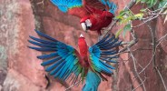 "Showcase 2020 Top 100 Winner: ""Sparring Red and Green Macaws, Pantanal , Brazil"" © Judy Lynn Malloch"