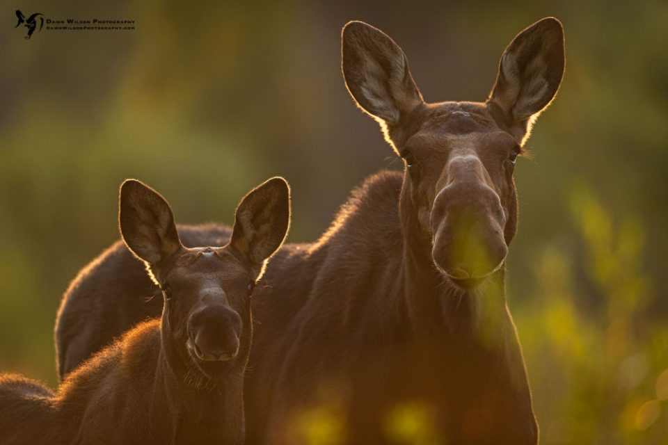 Photo of female moose and calf. On that same trip, I was photographing a cow moose and her calf in this beautiful early morning light. I backed up to lean on a tree behind me and almost immediately knew what that shooting pain was in my thigh; I had been stung by a wasp. I quickly moved away but the damage was done. I looked back at the tree and saw my error; I did not see the hive clinging to a branch strangely only two feet off of the ground. The power of 2020 struck again but I wasn't going to let this stop me from this wonderful opportunity. (Thankfully I am not allergic to wasp stings.) © Dawn Wilson