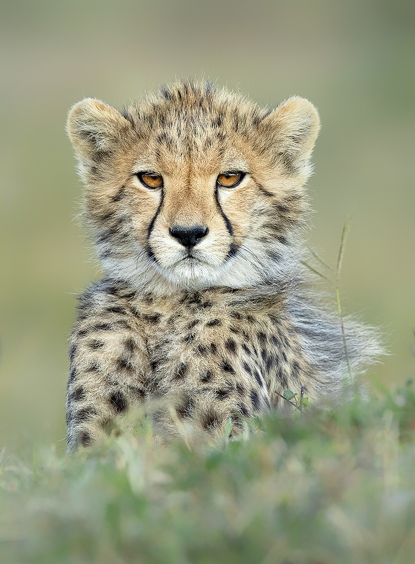 "Showcase 2020 Top 100 Winner: ""Tiny but Mighty Cheetah Cub, Maasai Mara National Reserve, Kenya"" © Anita Ross"