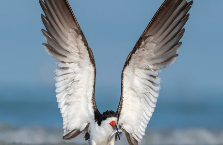 "Showcase 2020 Top 100 Winner: ""Black Skimmer Makes a Dramatic Landing, Sarasota, Florida"" © Peter Brannon"