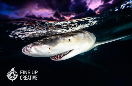 Photo of lemon shark. For the fin of it, Jennifer Idol is rebranding her creative services into a mission driven brand called Fins Up Creative.