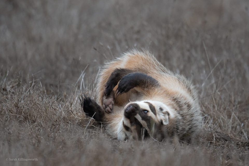 After seeing this badger in a field the previous few nights, just before sunset I decided to sit in the field and wait. The badger came out and, instead of trying to get closer, I remained in place, quietly observing. It began exploring and rolling in the grass. Staying back allowed me to photograph this incredible behavior of a normally very skittish animal. © Sarah Killingsworth