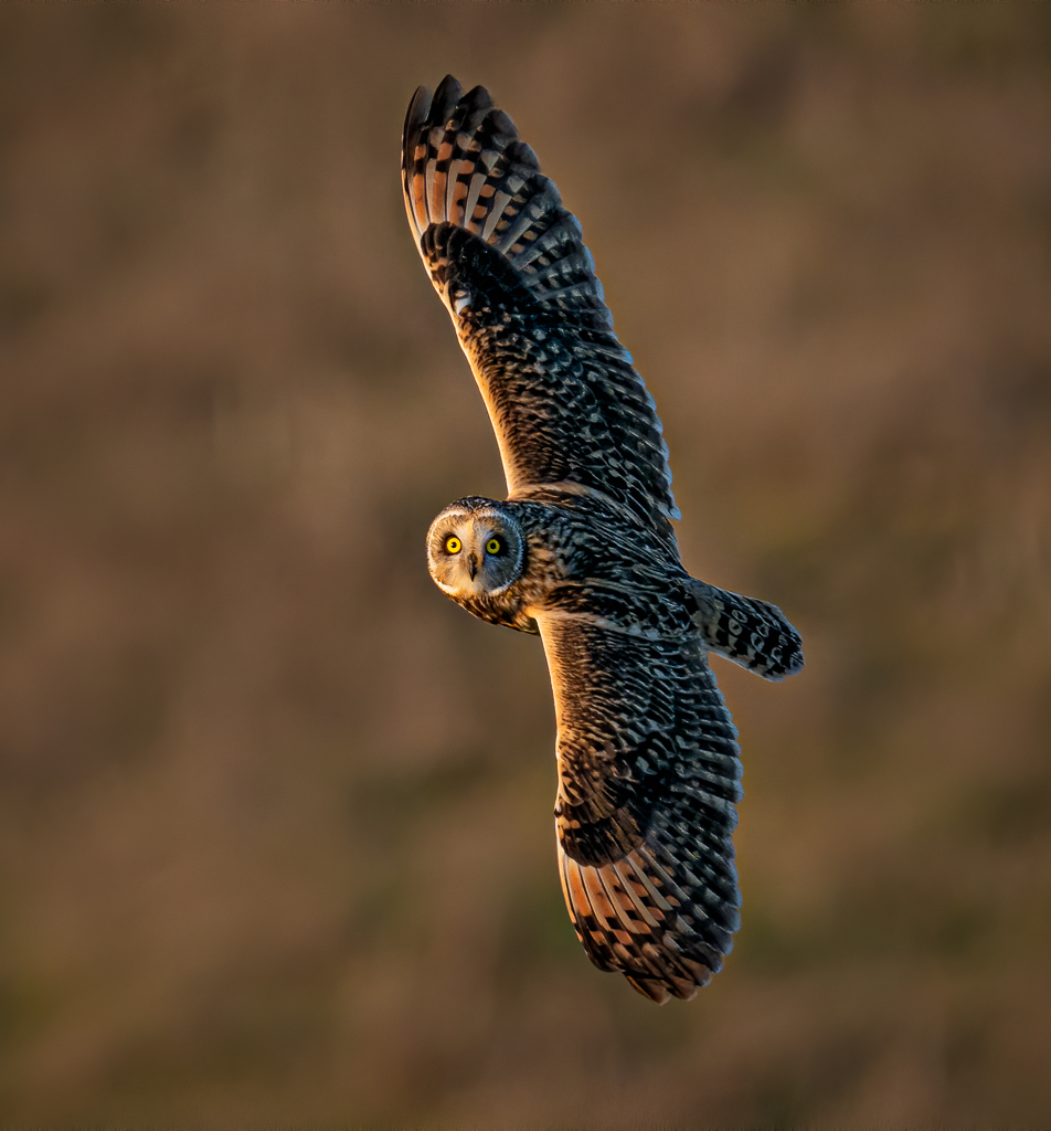 Short-Eared Owl in Flight, image by Alice Cahill