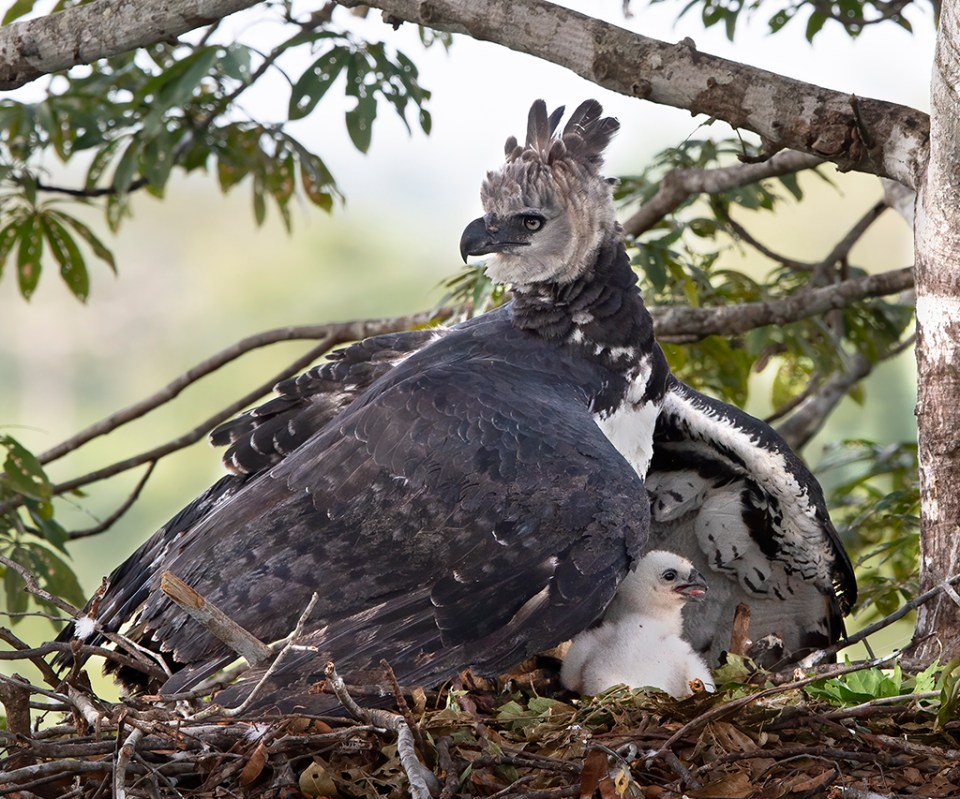 Harpy Eagle mother shelters young chick under wing, image by Barbara Fleming