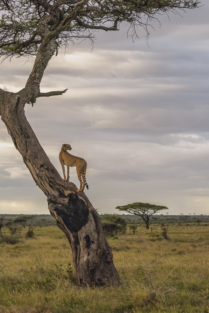 Female Cheetah Surveying the Landscape from an Acacia Tree, image by Secret Sea Visions