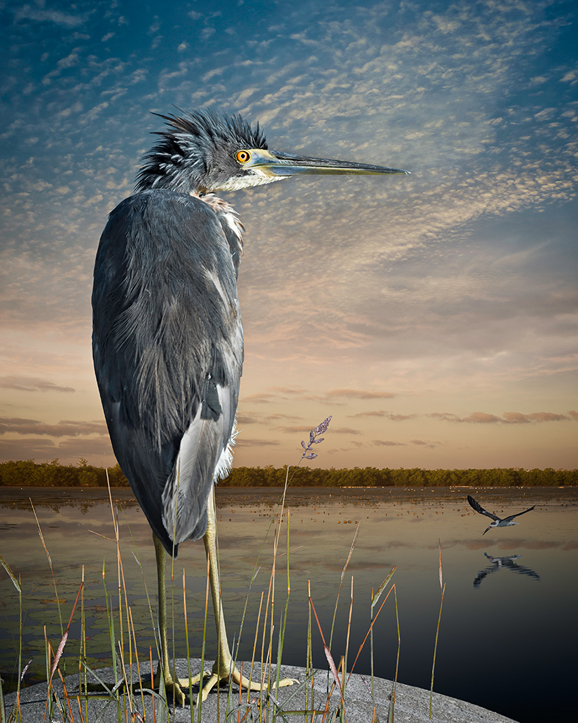 Altered image of a tri-colored heron and a skimmer by Cheryl Medow