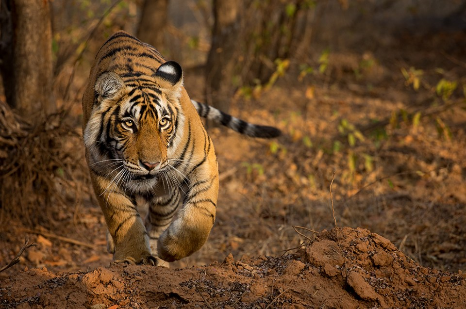 Young Female Bengal Tiger on the Prowl, image by Christopher Ciccone