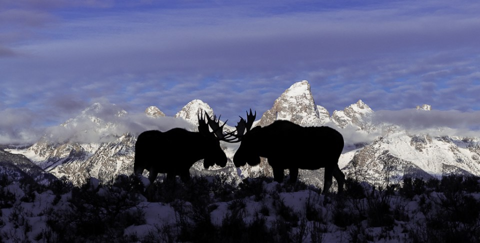 Bull Moose Stare Down in Grand Teton National Park, image by Deena Sveinsson