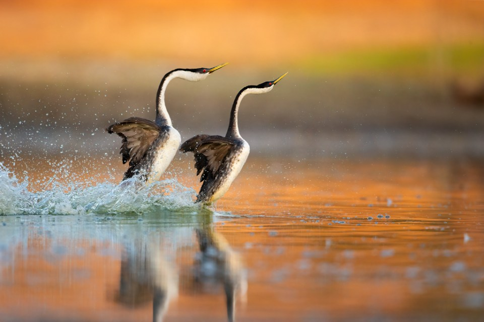 Western Grebes Rush across the Surface of a Lake Aglow from California Wildfires, image by Donald Quintana