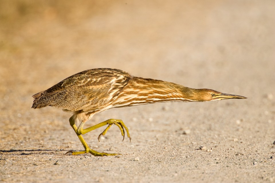 American Bittern Crossing the Road, image by Eleanor Briccetti