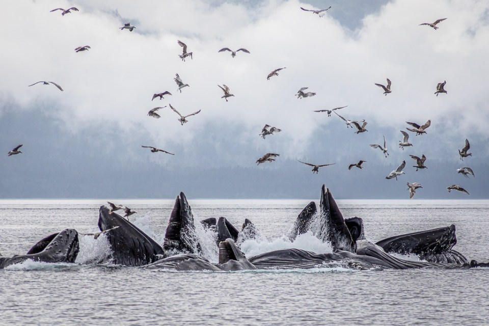 Humpback Whales Bubble Net Feeding in Icy Strait, image by Frank Zurey